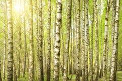 Brzozy drewno w wiośnie Obrazy Stock