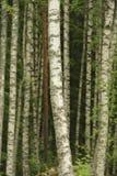Brzozy drzewa bagażniki fotografia stock