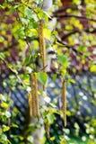 Brzozy drzewa bazie Obrazy Stock