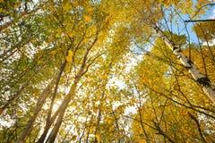 Brzozy drzewa las Obraz Stock