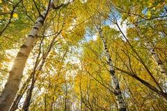 Brzozy drzewa las Obraz Royalty Free