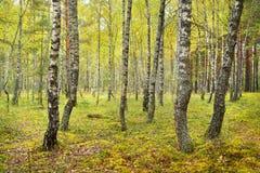 Brzozy drzewa las Obrazy Stock