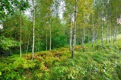 Brzozy drzewa las Obrazy Royalty Free