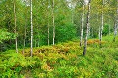 Brzozy drzewa las Zdjęcia Stock