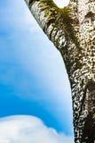 Brzozy drzewa szczegół z niebieskim niebem Obrazy Stock