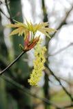Brzozy drzewa ziarna strąk Obraz Royalty Free