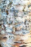 Brzozy Drzewna barkentyna zdjęcia stock