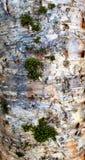 Brzozy drzewna barkentyna z mech zdjęcie royalty free
