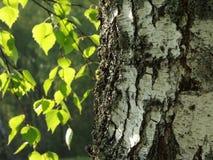 brzozy drzewo Obrazy Stock