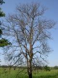 Brzozy drzewo bez liści Zdjęcia Royalty Free