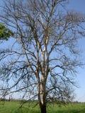Brzozy drzewo bez liści Fotografia Stock