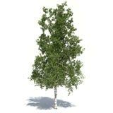 Brzozy drzewo 3d ilustrujący Zdjęcie Royalty Free