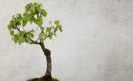 Brzozy drzewo odizolowywający Obrazy Royalty Free