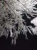 Brzozy drzewo pod hoarfrost Fotografia Stock