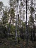 Brzozy drzewo w lesie obrazy royalty free