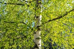 Brzozy drzewo w młodym wiosny ulistnieniu zdjęcie stock