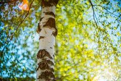 Brzozy drzewo w wiośnie Zdjęcia Stock