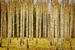 Brzozy drzewo w wiośnie, tekstura konceptualny wizerunek Obraz Royalty Free