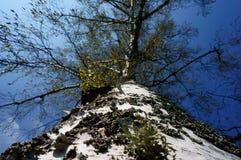 Brzozy drzewo z niebieskim niebem Obraz Royalty Free
