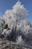 Brzozy drzewo zakrywający z bielem oszroniejącym w zimnym zima słonecznym dniu Obrazy Stock