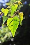 brzozy głębii pola liść skrót bardzo Zdjęcie Royalty Free