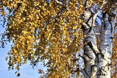 Brzozy gałąź gęsto zakrywająca z żółtymi liśćmi zdjęcie royalty free