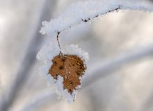 Brzozy gałąź z kolorem żółtym opuszcza pod snowin ranek zdjęcia royalty free