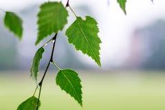 Brzozy gałąź z zielenią opuszcza i opuszcza deszcz na rozmytym bac obrazy royalty free