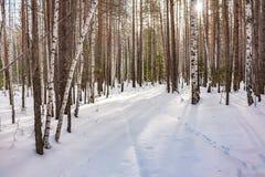 Brzozy i świerczyny las na zima dniu z świeżym białym śniegiem zdjęcia royalty free