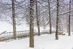 Brzozy i śnieg Fotografia Stock