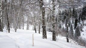 Brzozy i śnieg Obraz Royalty Free