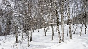 Brzozy i śnieg Zdjęcia Stock