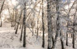 Brzozy i śnieg Zdjęcia Royalty Free
