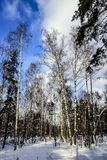 Brzozy i sosny w lasu parku na pogodnej zimy mroźnym dniu przeciw niebieskiemu niebu Rosja fotografia stock