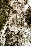 brzozy korowata tekstura Zdjęcia Royalty Free