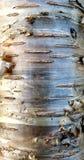 Brzozy Korowaty drzewo obraz royalty free