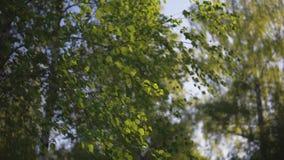 Brzozy lasowa kamera poruszająca przy zmierzchem naprzód, zamyka w górę strzału, wiatrowy dmuchanie zbiory