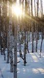brzozy lasowego drzewa zima raniąca Fotografia Stock