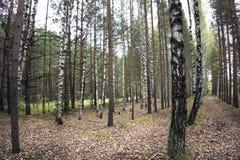 brzozy lasowej gaju wiosna pogodni bagażniki biały Brzoza Gaj pogodna lasowa wiosna Fotografia Stock