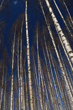 brzozy lasu jaśnienie obrazy stock