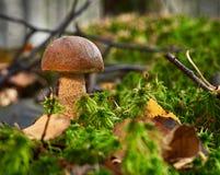 Brzozy Leccinum grzybowy scabrum r w lesie wśród mech zdjęcie royalty free