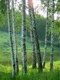 Brzozy na brzeg lasowy jezioro na jasnym letnim dniu obraz stock