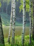 Brzozy na brzeg lasowy jezioro na jasnym letnim dniu obraz royalty free