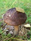 Brzozy pieczarka w trawie z liść na kapeluszu. Obrazy Royalty Free