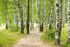 brzozy ulistnienia zieleni gaj może Zdjęcie Stock