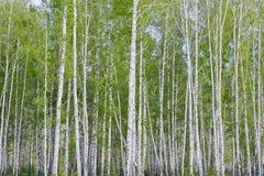brzozy ulistnienia zieleni gaj może Fotografia Royalty Free