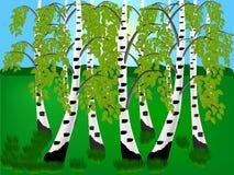 brzozy ulistnienia zieleni gaj może Obrazy Stock