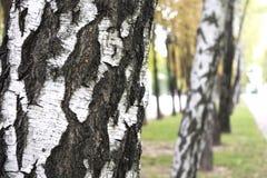 brzozy ulistnienia zieleni gaj może Obrazy Royalty Free