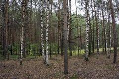 brzozy ulistnienia zieleni gaj może Brzoza Gaj pogodna lasowa wiosna Zdjęcie Royalty Free