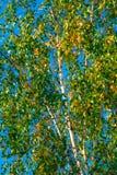 Brzozy w zielonym i żółtym ulistnieniu przeciw niebieskiego nieba †'początek jesień w Środkowym Rosja zdjęcia stock